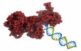ADN polymérases